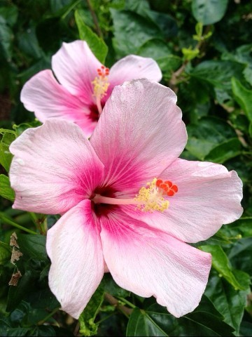 Pink Flower, Vacation Rentals And Monthly Rentals, Hanalei, HI